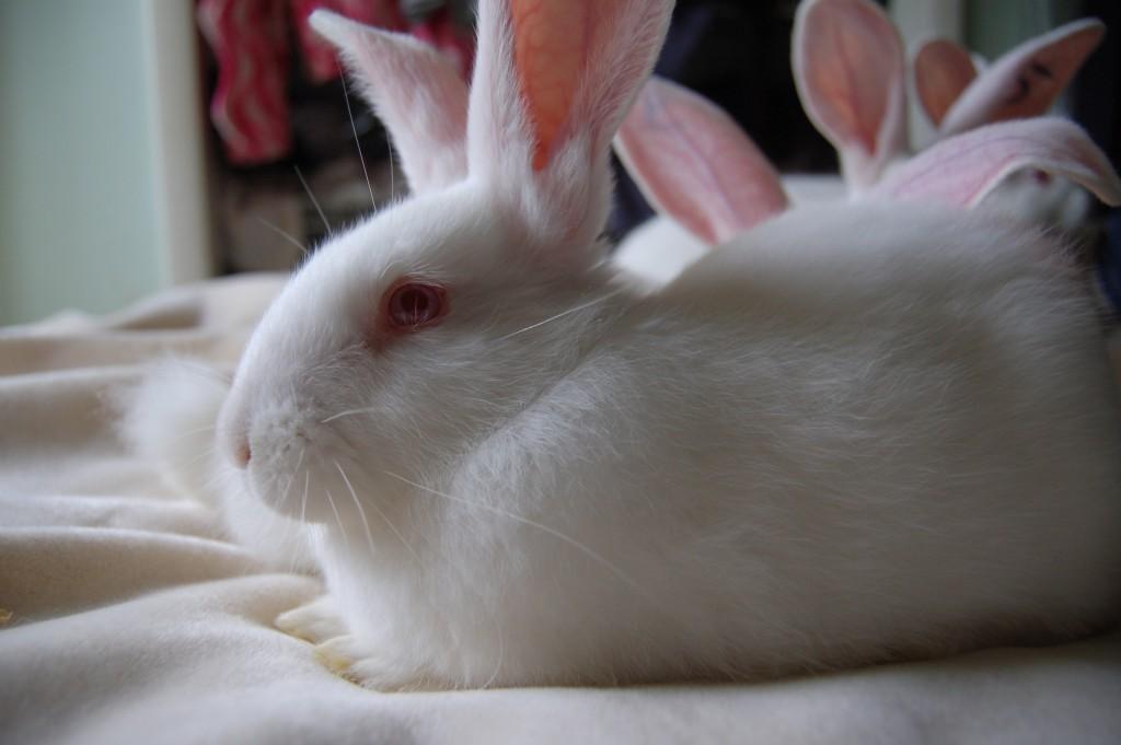 La grande majorité des lapins de laboratoire sont des néo-zélandais, albinos aux yeux roses. CC THE ORIGINAL TURTLE
